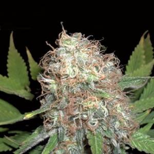 Семена конопли Bud Bud Bling Thingz
