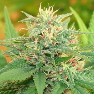 Семена конопли Auto Narcotic Kush