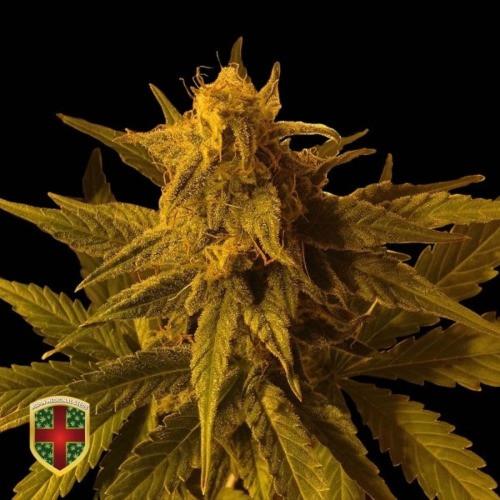 Семена конопли Auto Big Marley
