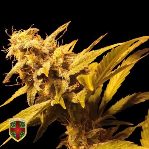 Семена конопли Big Marley