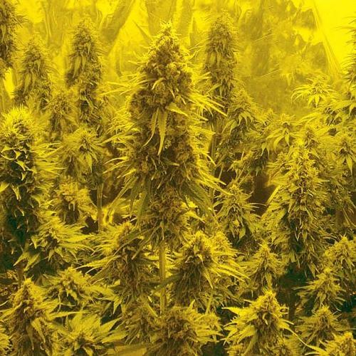 Сорт семян конопли Auto Somachigun