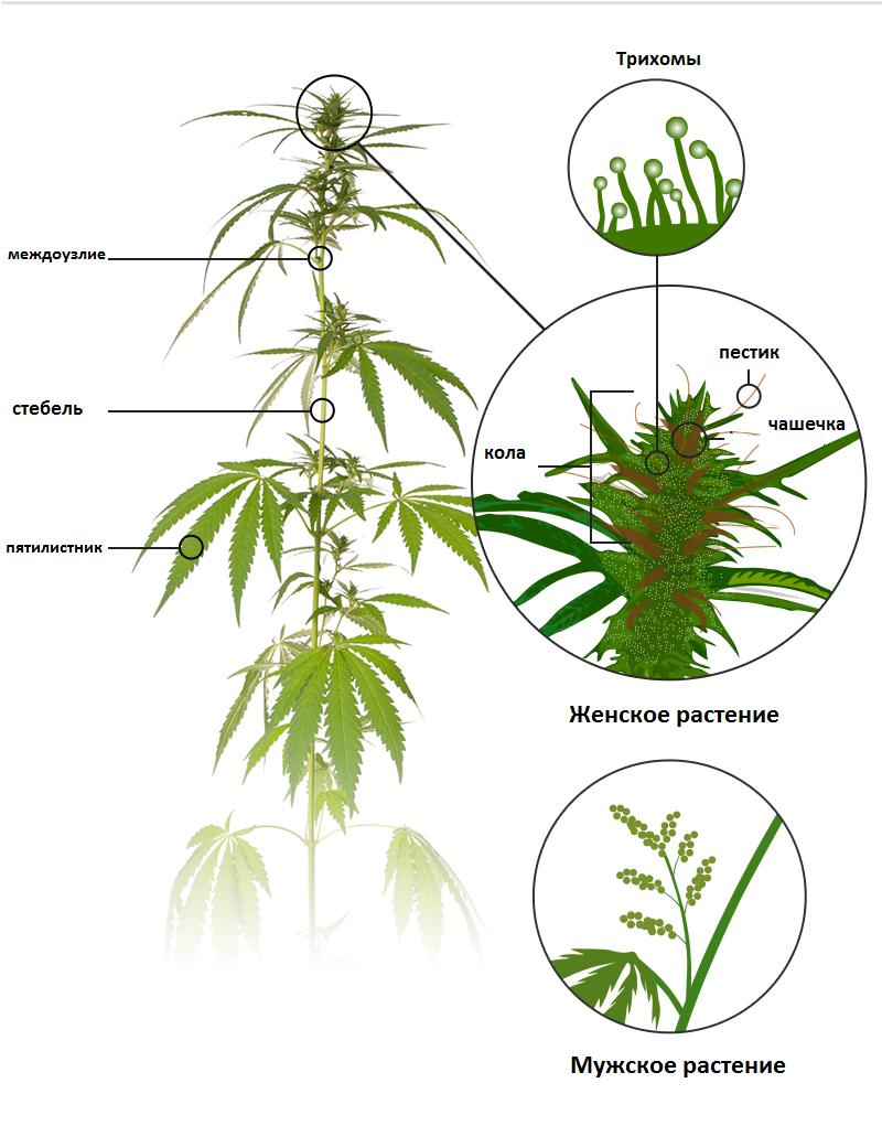 Фото женские растения конопли ржач с коноплей