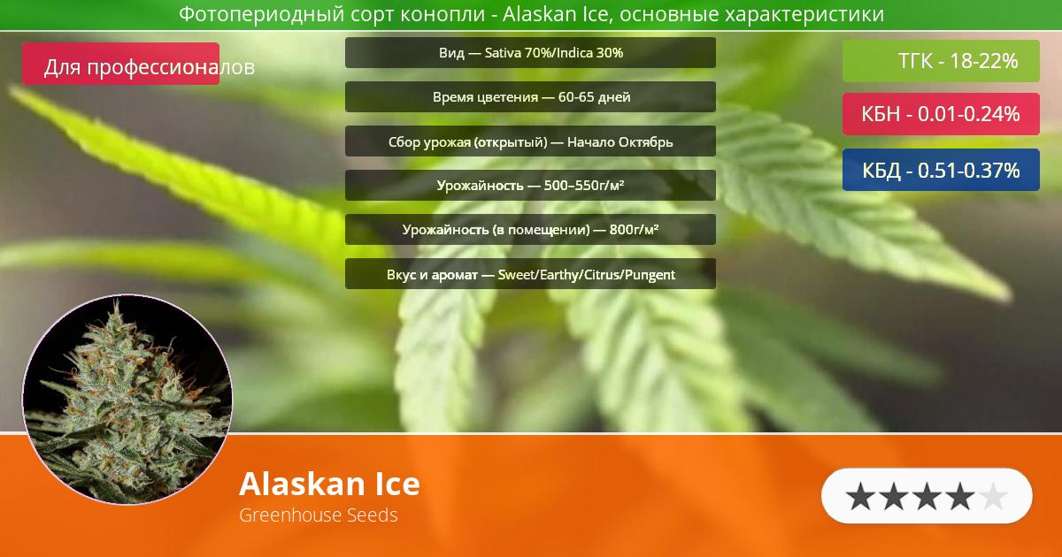 Инфограмма сорта марихуаны Alaskan Ice