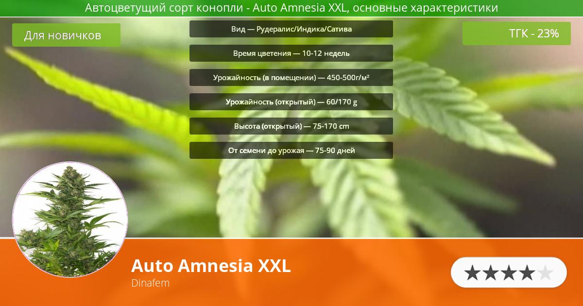 Инфограмма сорта марихуаны Auto Amnesia XXL