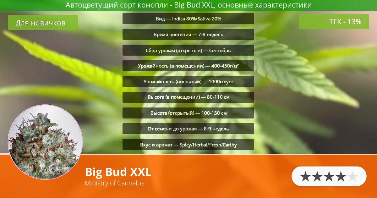 Инфограмма сорта марихуаны Big Bud XXL