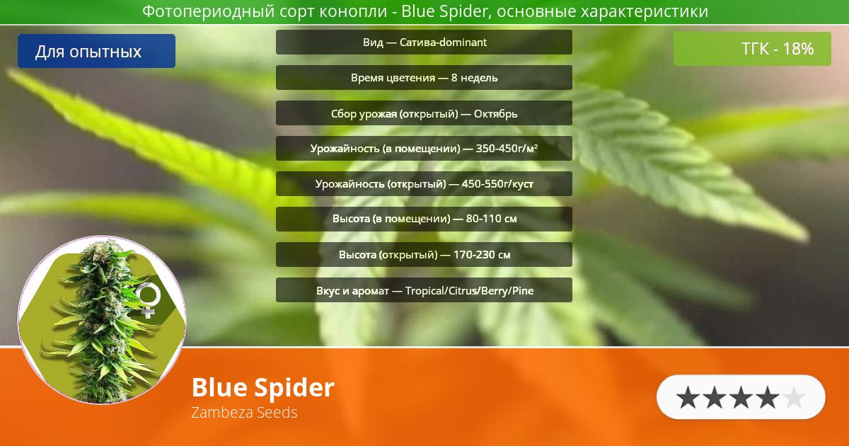 Инфограмма сорта марихуаны Blue Spider