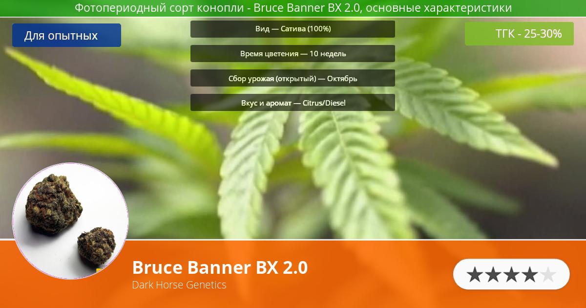 Инфограмма сорта марихуаны Bruce Banner BX 2.0