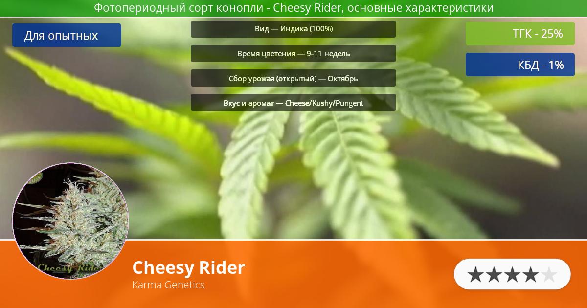 Инфограмма сорта марихуаны Cheesy Rider