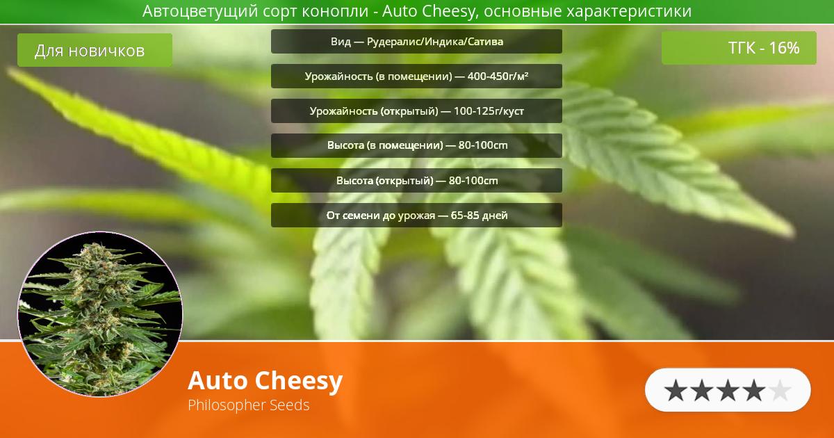 Инфограмма сорта марихуаны Auto Cheesy