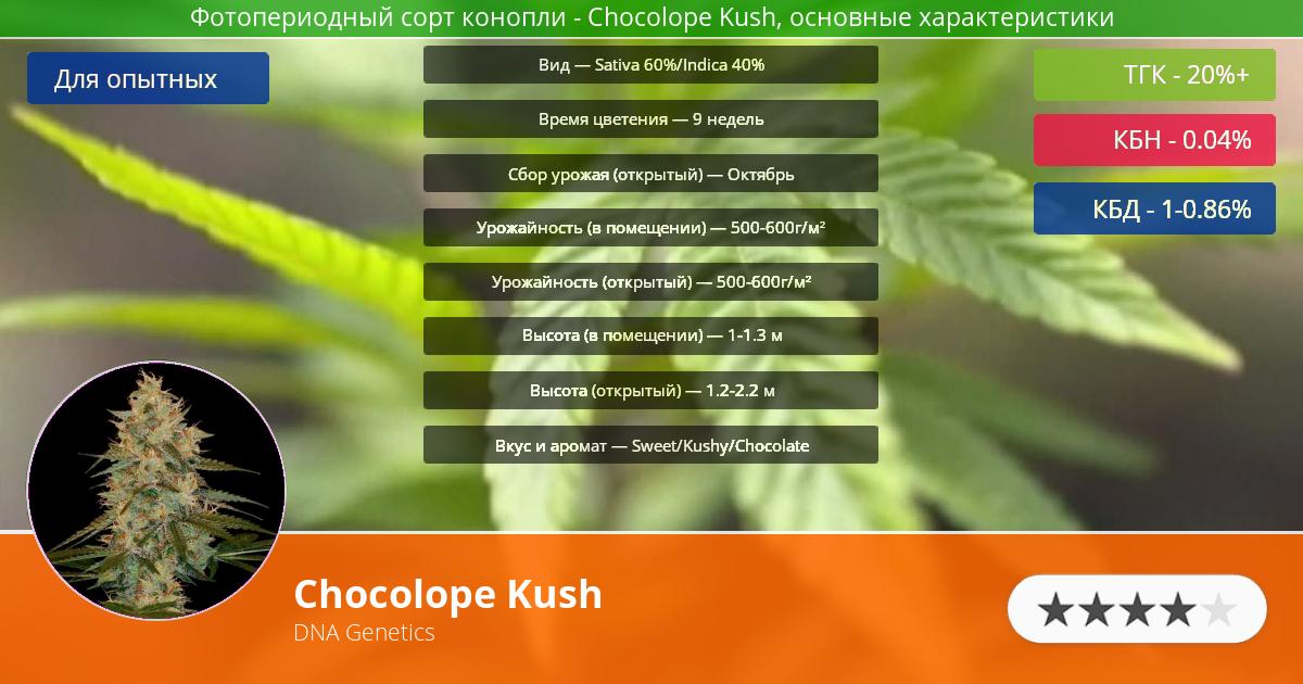 Инфограмма сорта марихуаны Chocolope Kush