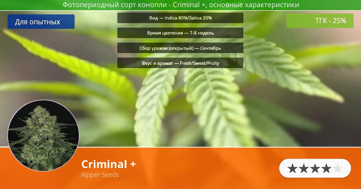 Инфограмма сорта марихуаны Criminal +