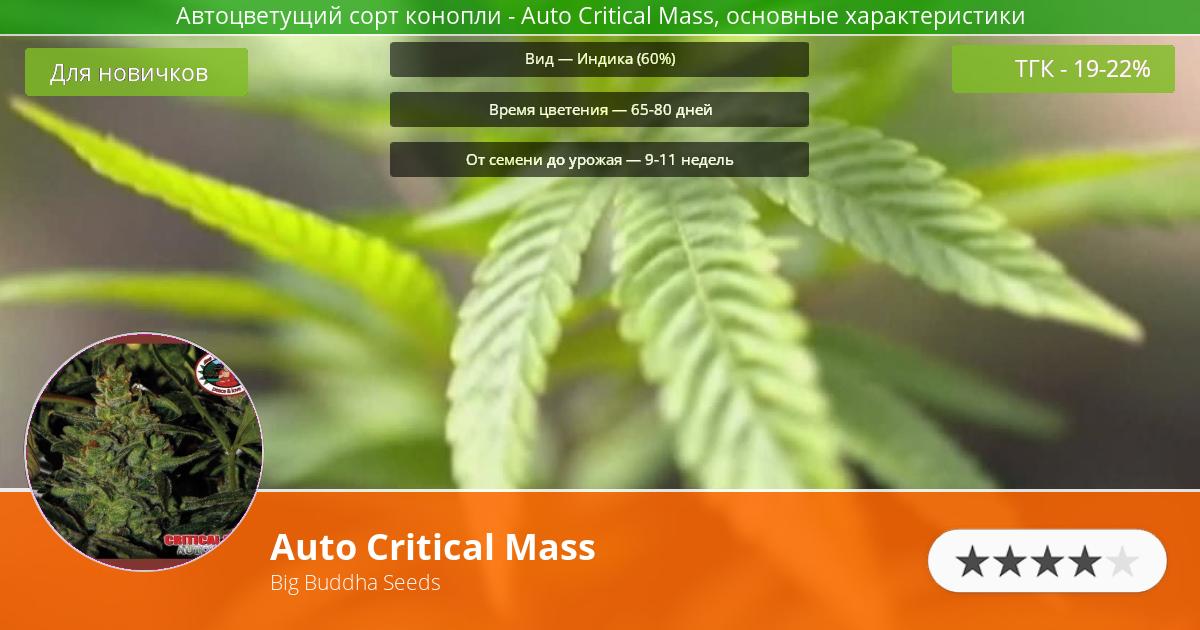 Инфограмма сорта марихуаны Auto Critical Mass