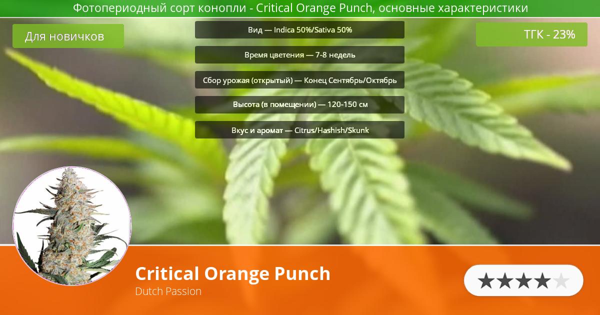 Инфограмма сорта марихуаны Critical Orange Punch