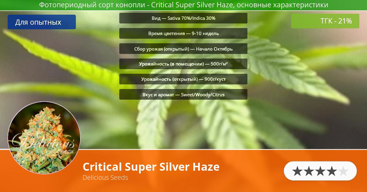 Инфограмма сорта марихуаны Critical Super Silver Haze