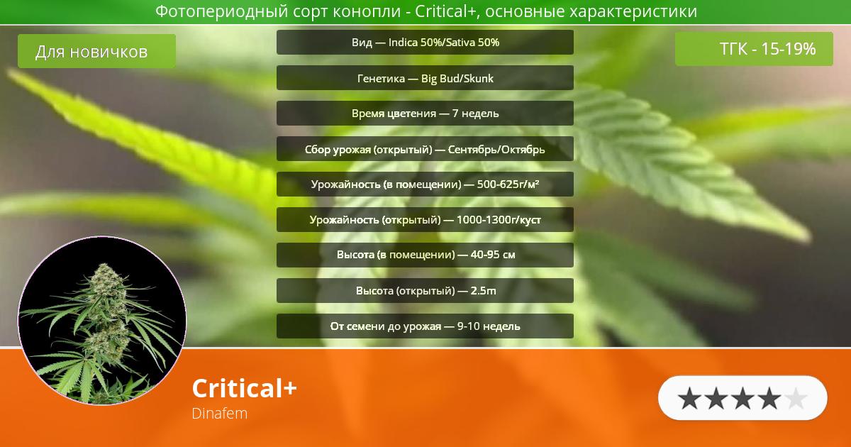 Инфограмма сорта марихуаны Critical+