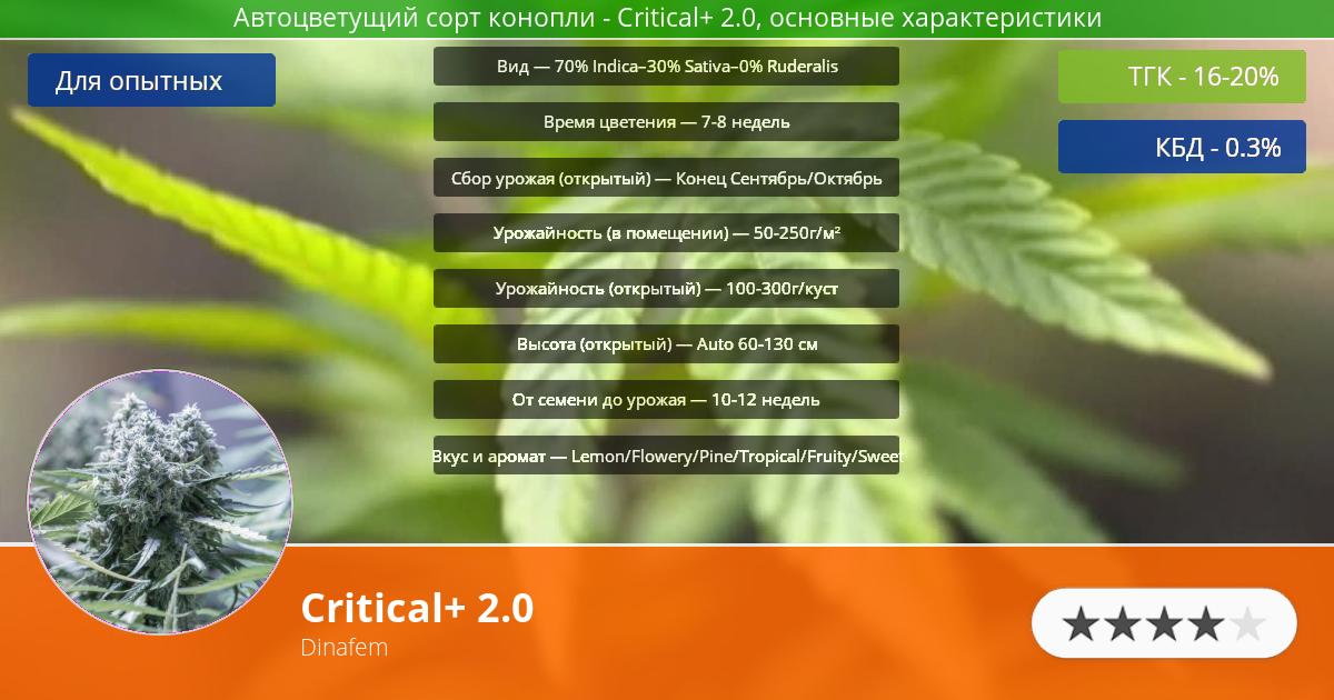 Инфограмма сорта марихуаны Critical+ 2.0
