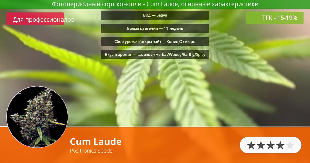 Инфограмма сорта марихуаны Cum Laude