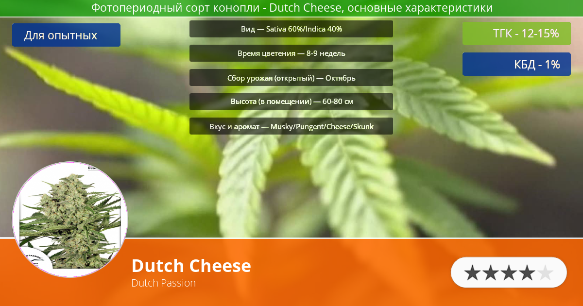 Инфограмма сорта марихуаны Dutch Cheese