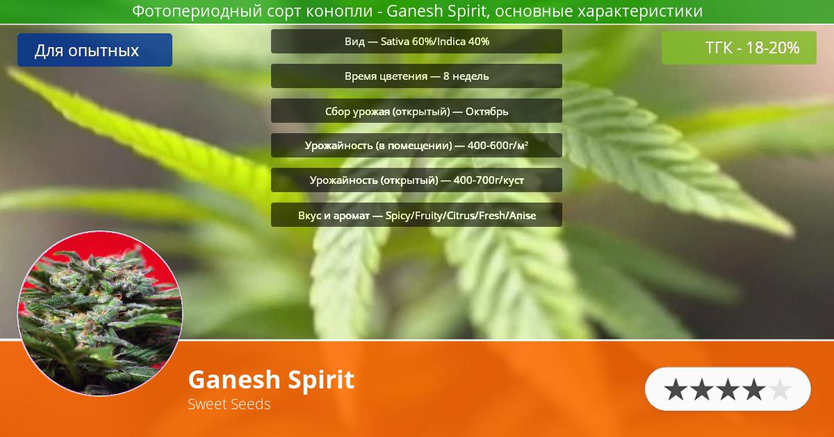 Инфограмма сорта марихуаны Ganesh Spirit