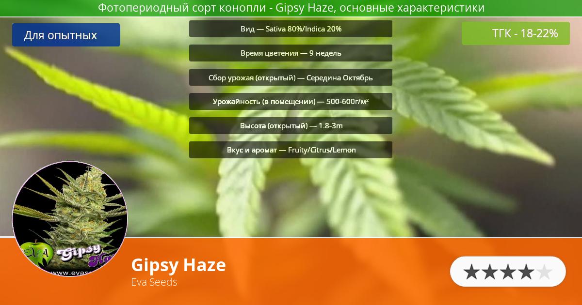 Инфограмма сорта марихуаны Gipsy Haze