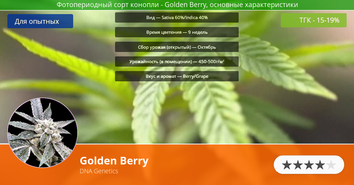 Инфограмма сорта марихуаны Golden Berry