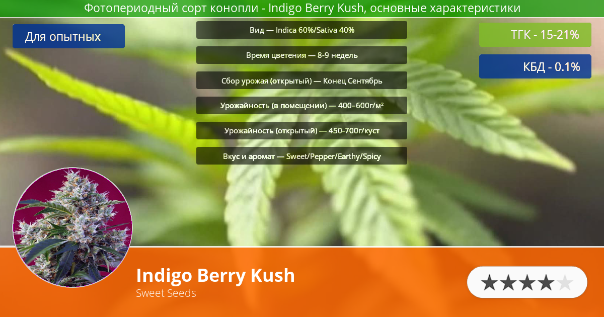 Инфограмма сорта марихуаны Indigo Berry Kush