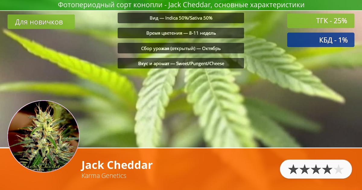 Инфограмма сорта марихуаны Jack Cheddar