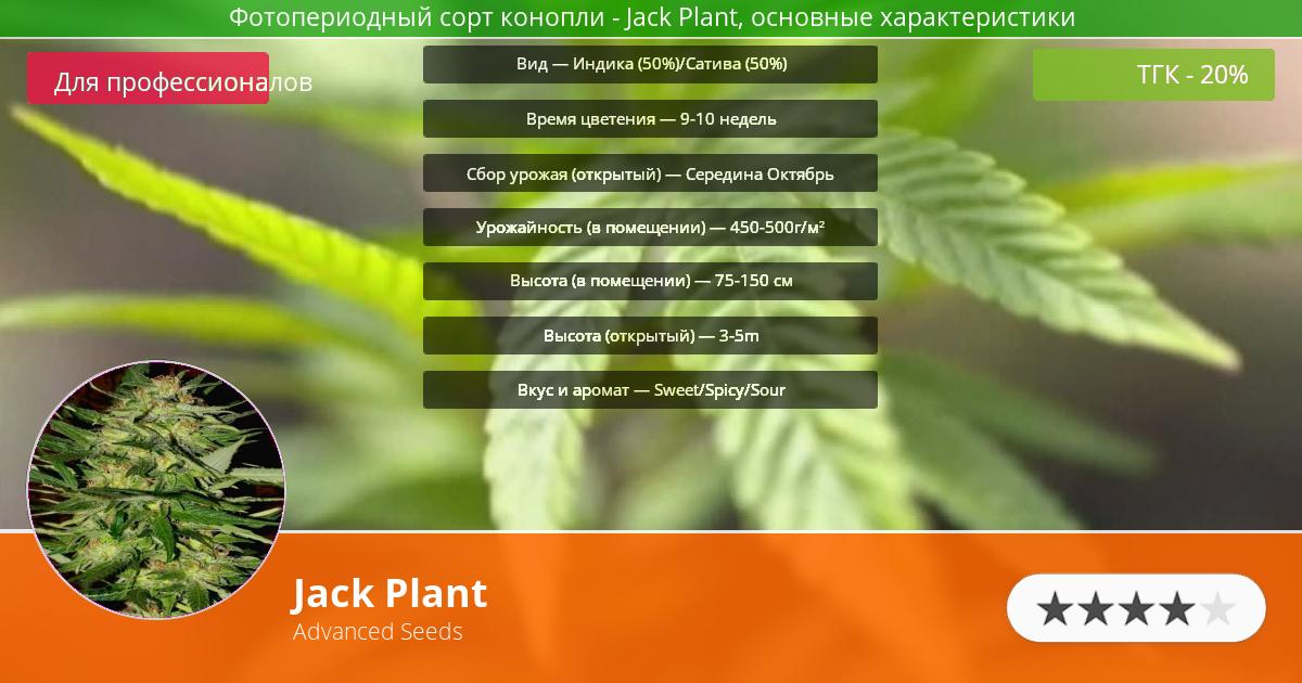 Инфограмма сорта марихуаны Jack Plant