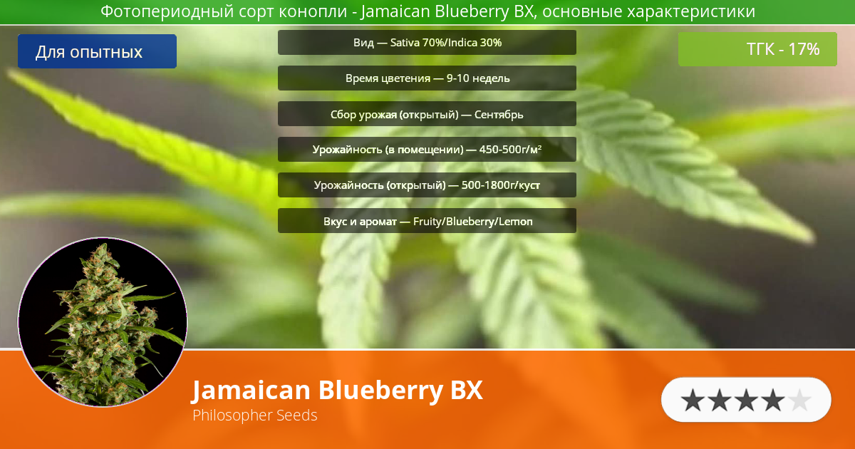 Инфограмма сорта марихуаны Jamaican Blueberry BX