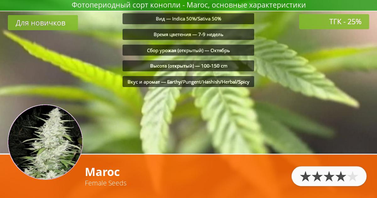 Инфограмма сорта марихуаны Maroc
