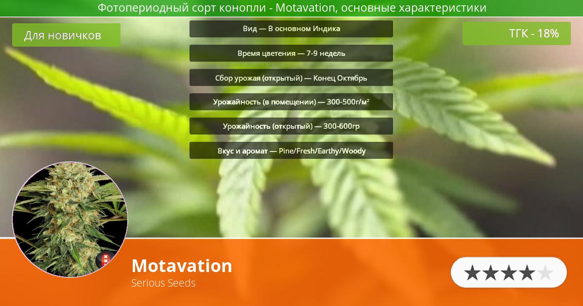 Инфограмма сорта марихуаны Motavation