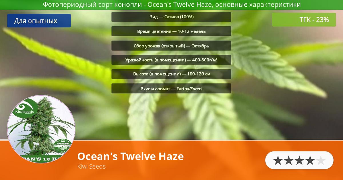 Инфограмма сорта марихуаны Ocean's Twelve Haze