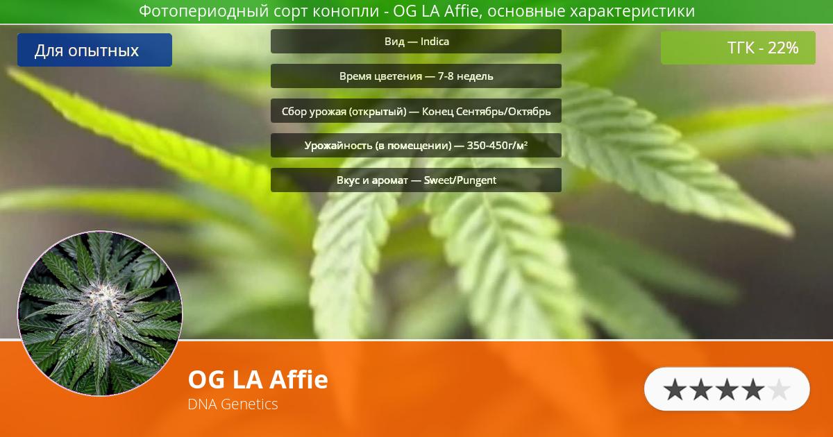 Инфограмма сорта марихуаны OG LA Affie