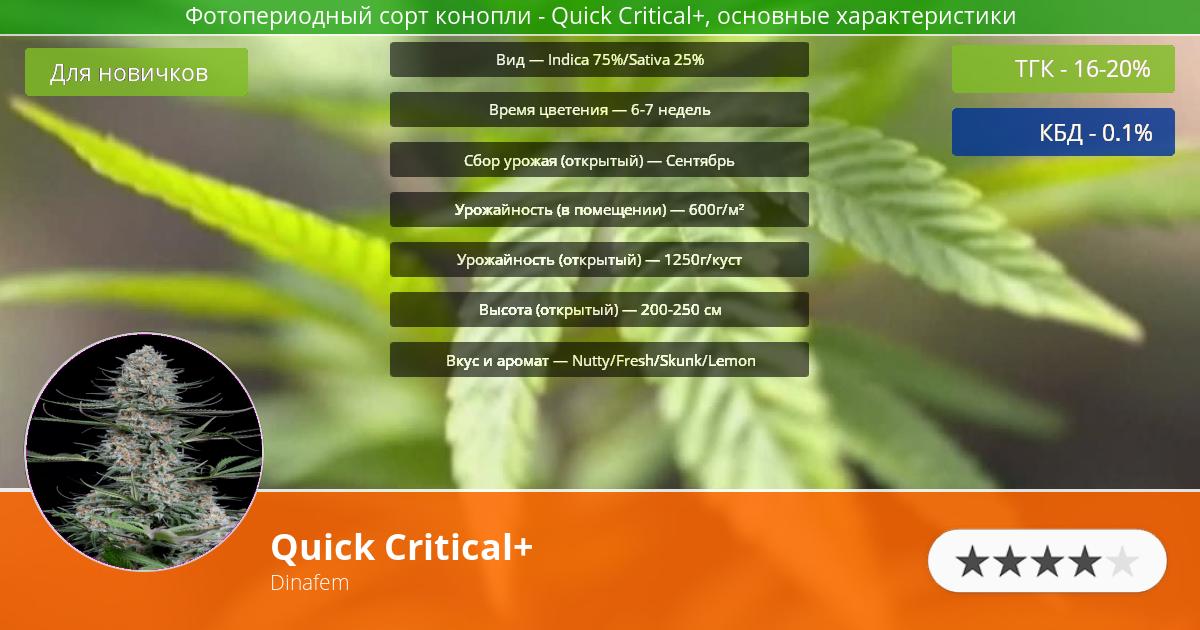 Инфограмма сорта марихуаны Quick Critical+