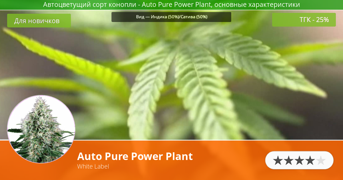 Инфограмма сорта марихуаны Auto Pure Power Plant