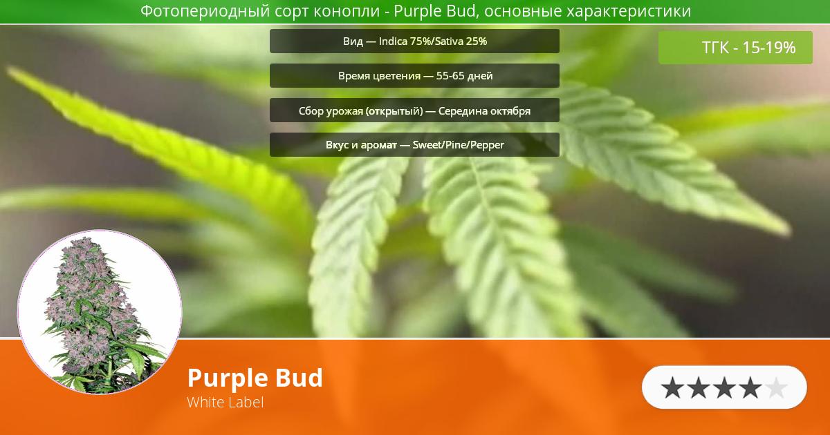 Инфограмма сорта марихуаны Purple Bud