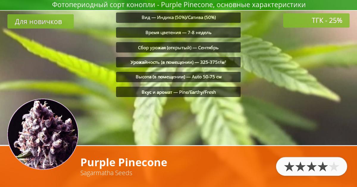 Инфограмма сорта марихуаны Purple Pinecone