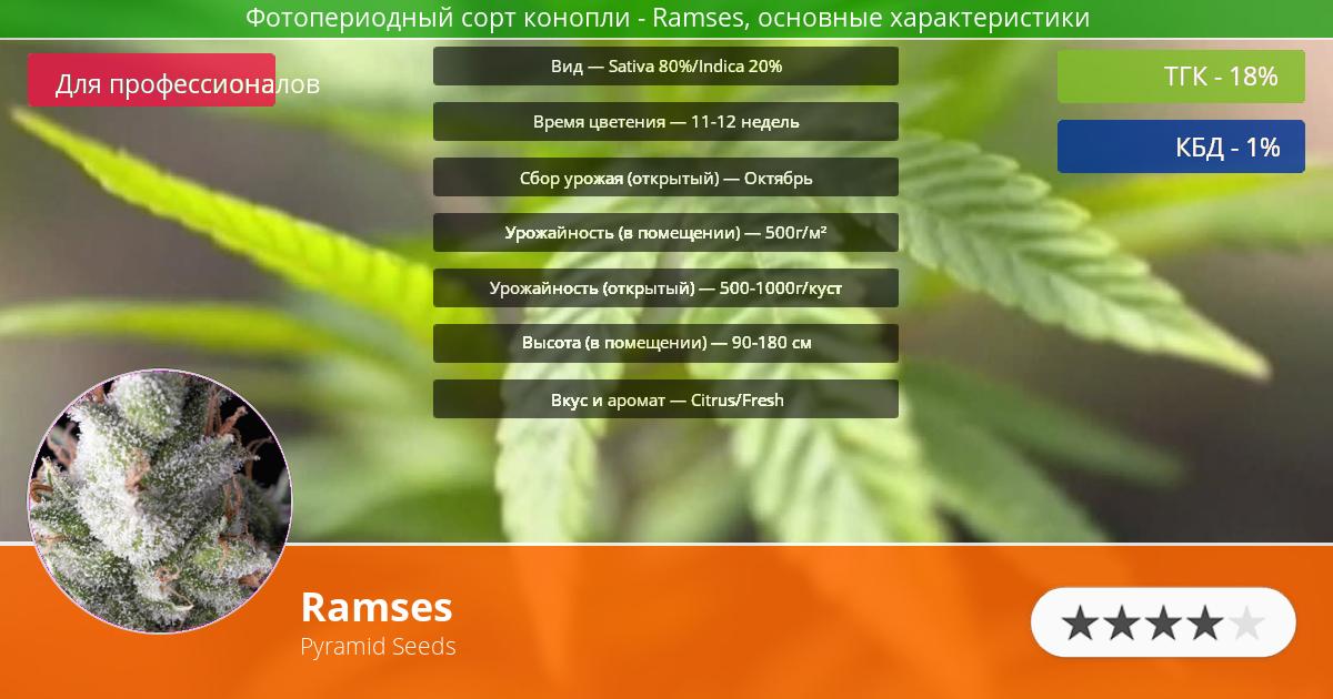 Инфограмма сорта марихуаны Ramses