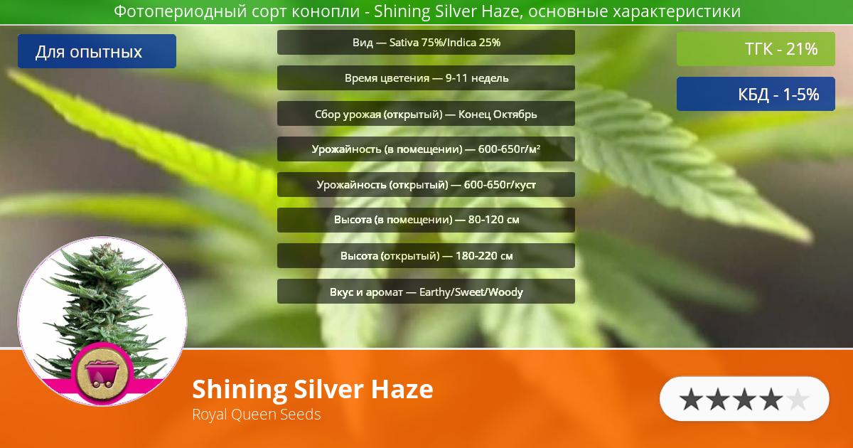 Инфограмма сорта марихуаны Shining Silver Haze