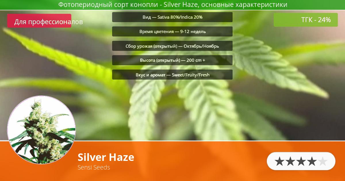 Инфограмма сорта марихуаны Silver Haze
