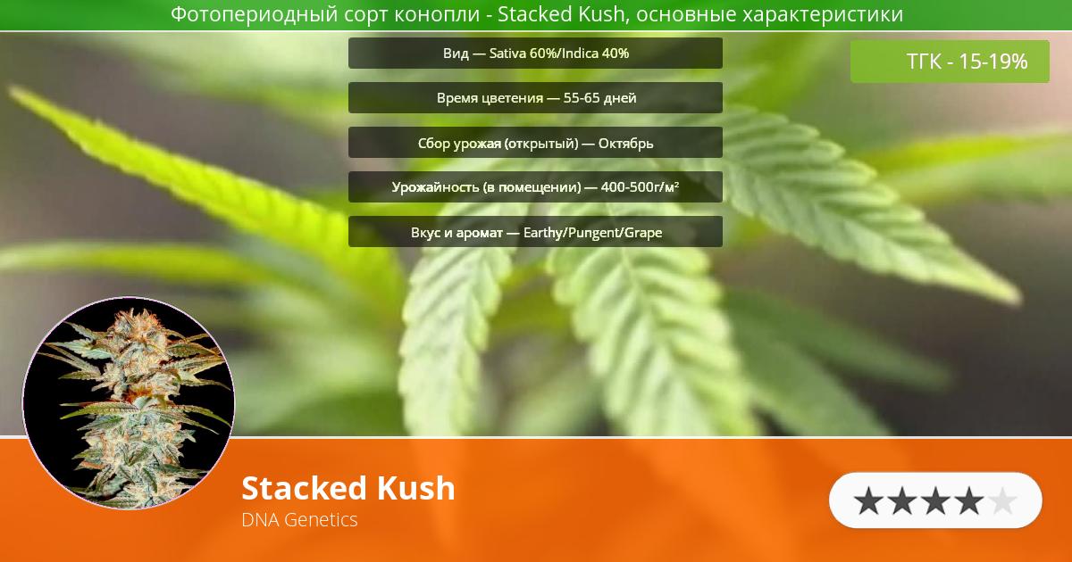 Инфограмма сорта марихуаны Stacked Kush