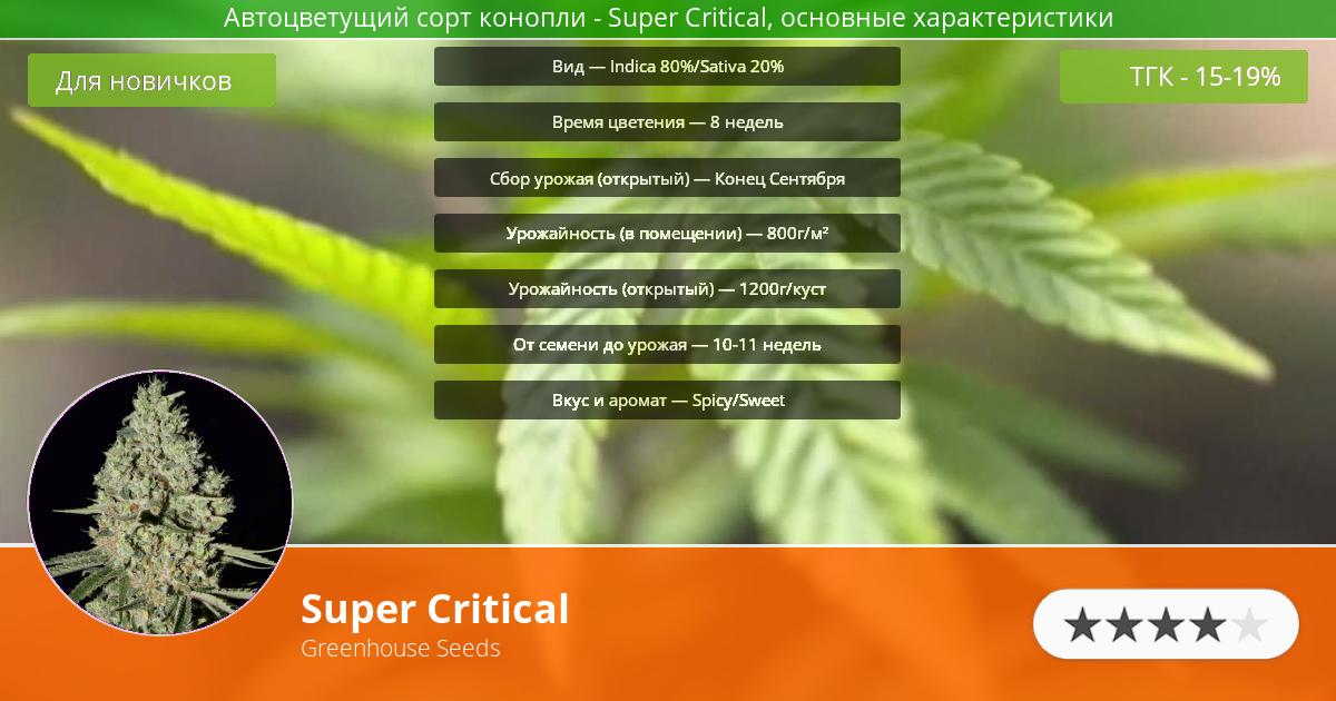 Инфограмма сорта марихуаны Super Critical