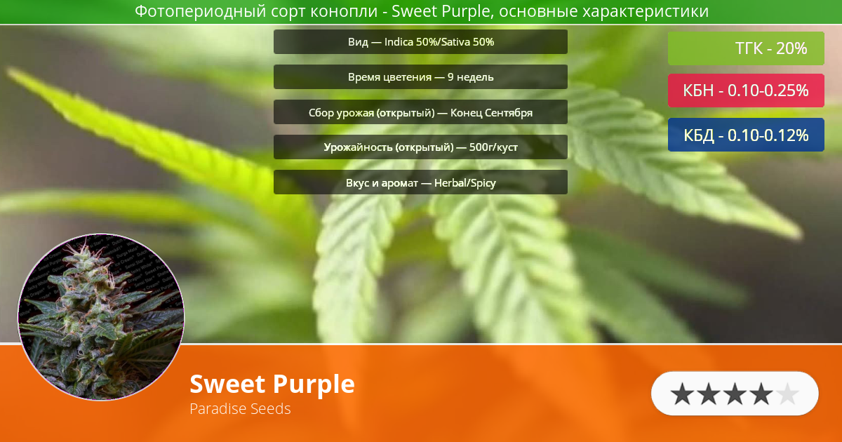 Инфограмма сорта марихуаны Sweet Purple
