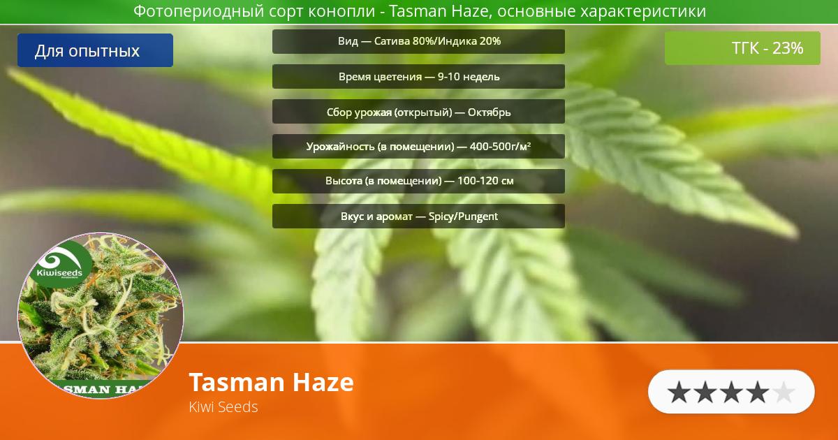 Инфограмма сорта марихуаны Tasman Haze