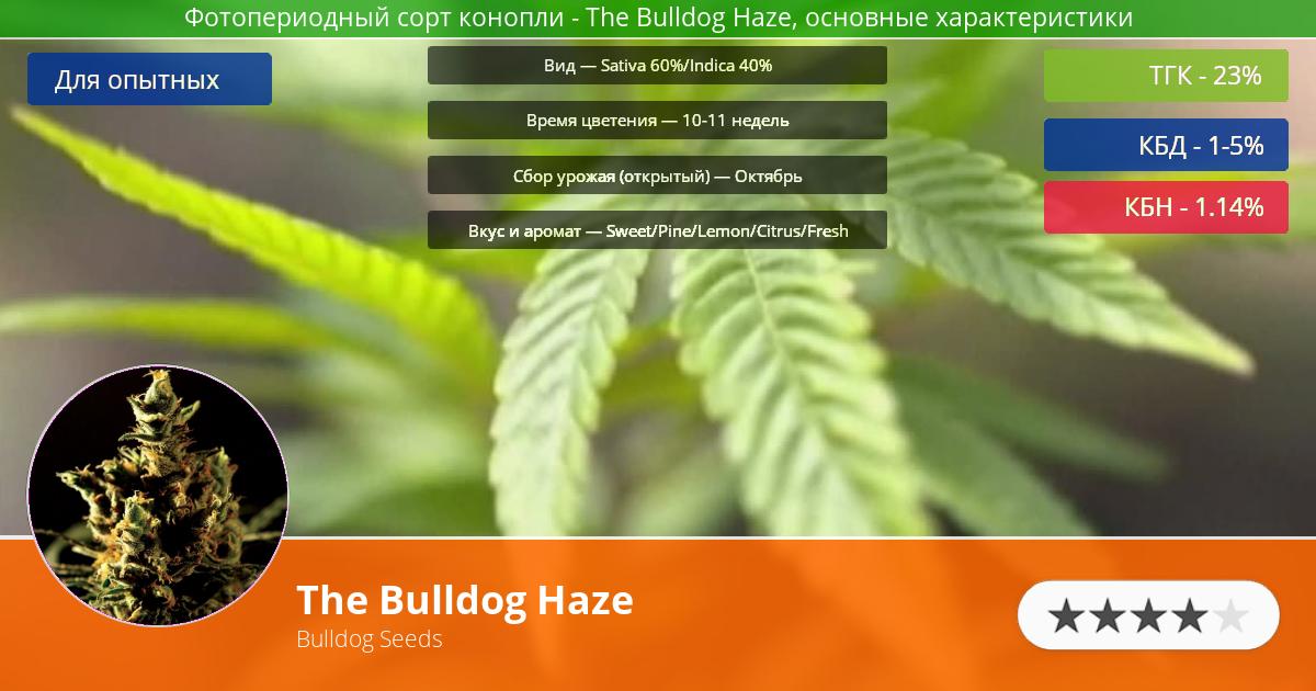 Инфограмма сорта марихуаны The Bulldog Haze