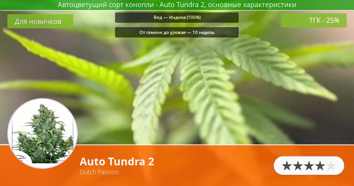 Инфограмма сорта марихуаны Auto Tundra 2