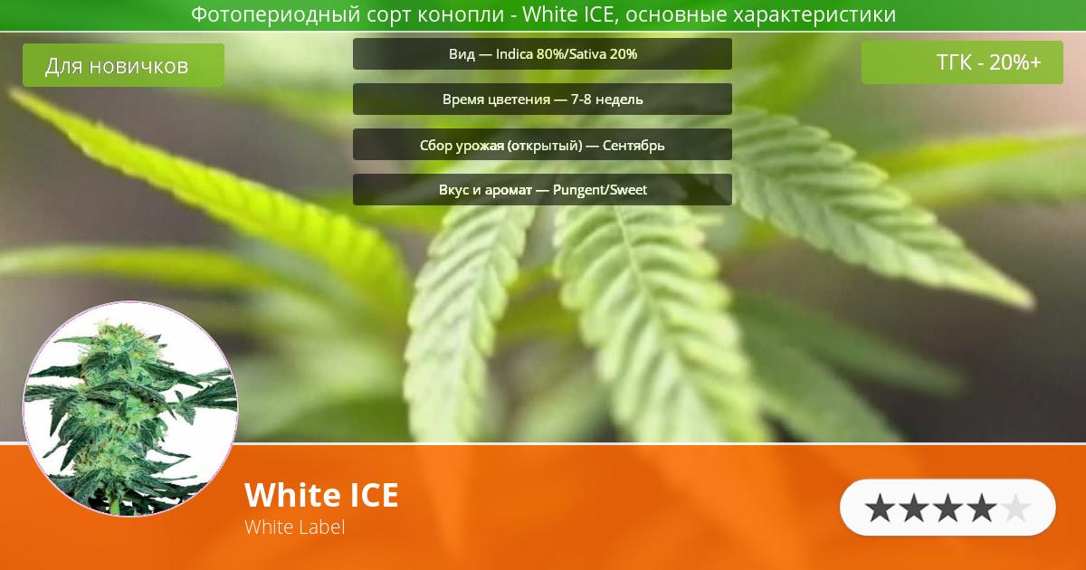 Инфограмма сорта марихуаны White ICE