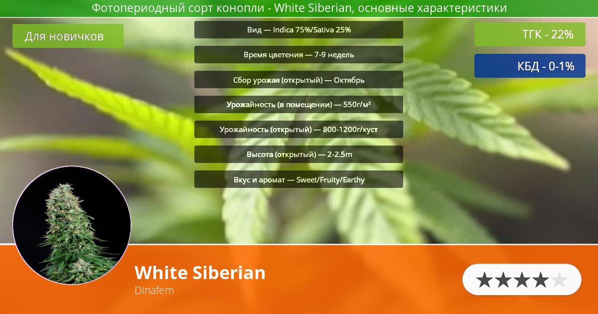 Инфограмма сорта марихуаны White Siberian