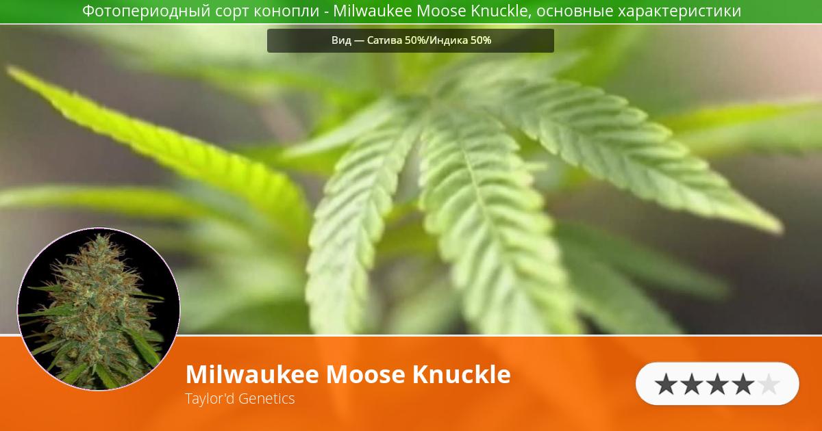 Инфограмма сорта марихуаны Milwaukee Moose Knuckle