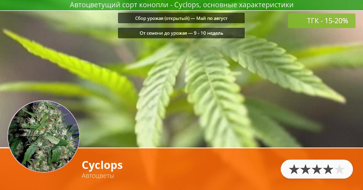 Инфограмма сорта марихуаны Cyclops